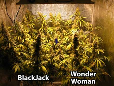 easily grow cannabis at home overwatering vs underwatering top fed dwc cannabis setup guide bubbleponics grow easy