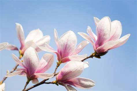 magnolia fiore significato significato dei fiori la magnolia pollicegreen