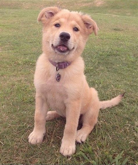 golden retriever chow puppies the o jays pets and breeds on