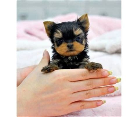 yorkie puppies kansas dogs topeka ks free classified ads
