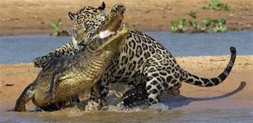 What Do Jaguars Prey On Jaguars Thinglink