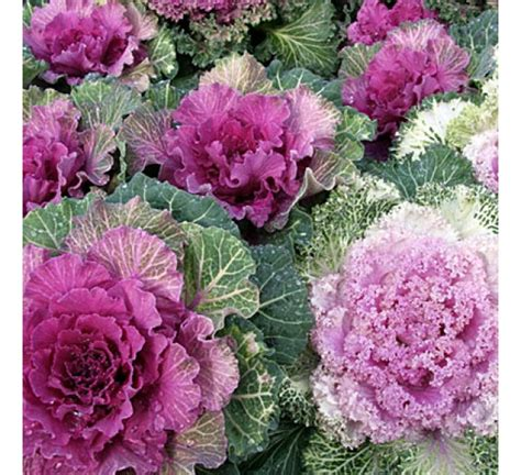 buy ornamental cabbage pink kale online at cheap price india s biggest plants and seeds shop