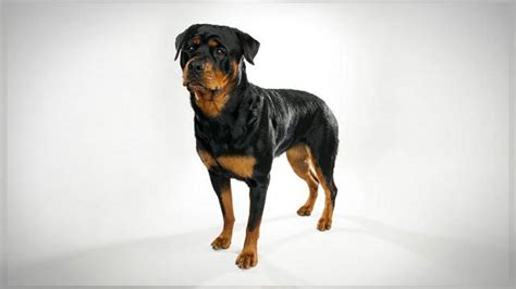 dogs 101 rottweiler animal planet rottweiler dogs 101 images