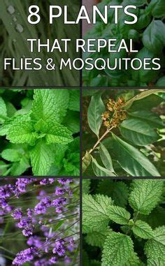 repel mosquitos mosquitoes and plants that repel