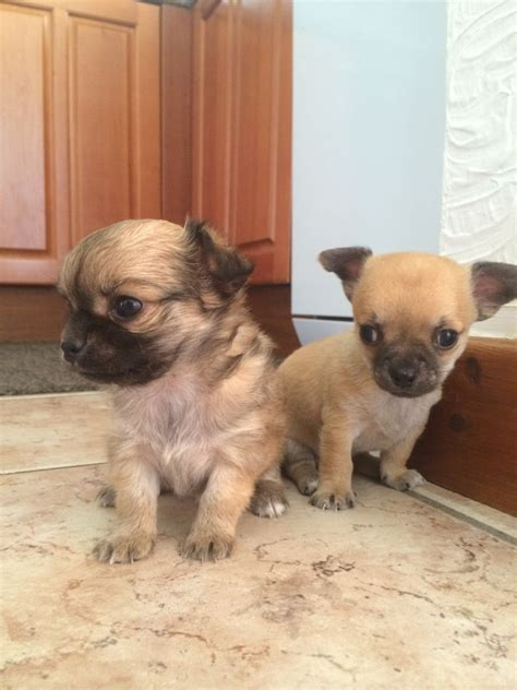 tiny puppies for sale tiny chihuahua puppies for sale bedford bedford bedfordshire pets4homes