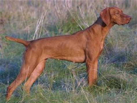 Vizsla Shedding by Related Keywords Suggestions For Hungarian Vizsla