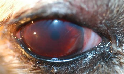 hyphema in dogs 2 at college of veterinary medicine at the of studyblue