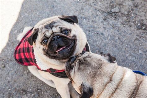 pug toronto there s an adorable pug meet up in toronto next weekend photos daily hive toronto