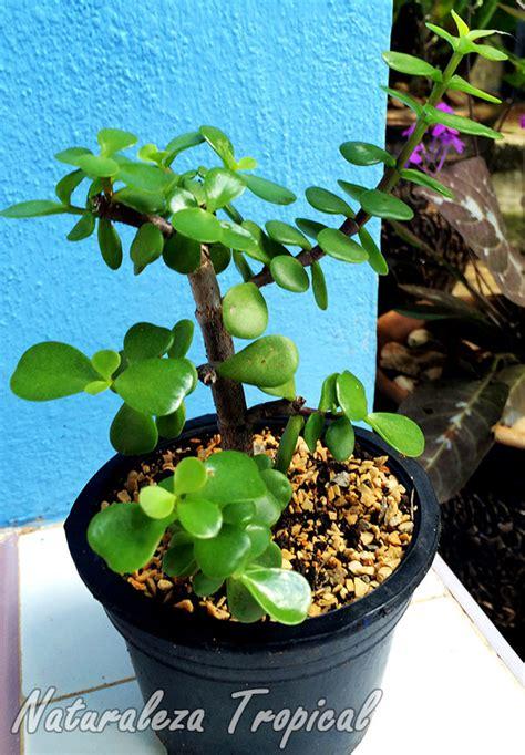 Afra M Dan L 9 naturaleza tropical 193 rbol de la abundacia que debes tener en el jard 237 n portulacaria afra