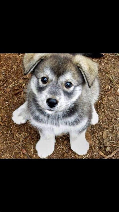 husky and pug mix husky pug mix breeds picture