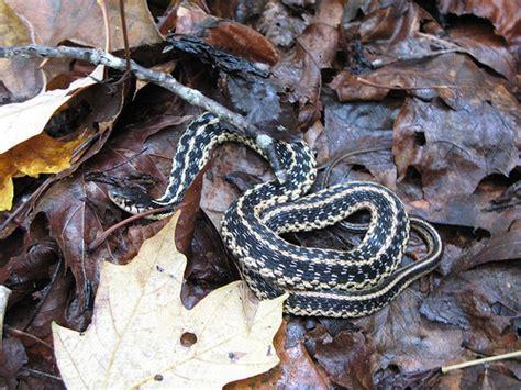 Garden Snake Tennessee Eastern Garter Snake Tennessee Flickr Photo