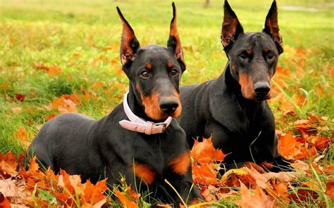 doberman pinscher doberman pinscher my rocks