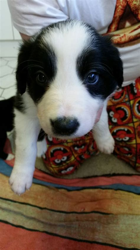 border collie puppies for sale california border collie puppies for sale ebbw vale blaenau gwent pets4homes