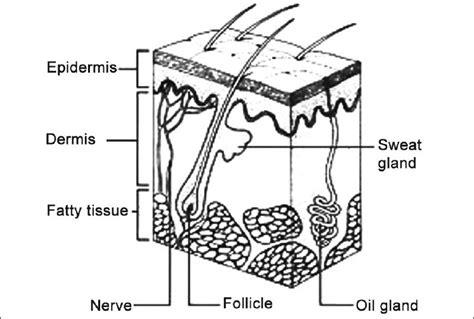 skin diagram skin structure diagram quiz skin get free image about