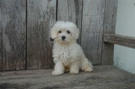 shichon puppies available small mixed breed dogs