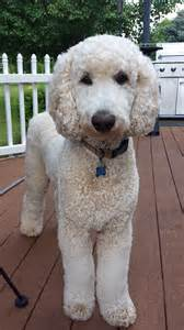 pictures of poodle haircuts bosley our standard poodle so poodley pinterest
