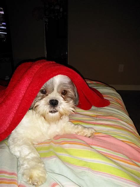 how to take care of a shih tzu take care of a shih tzu shih tzu take care and how to take