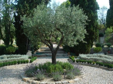olive garden south bay home design ideas and pictures olive trees with borders of rosemary and lavender or