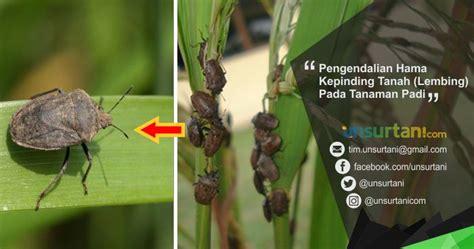 pengendalian hama kepinding tanah lembing  tanaman padi