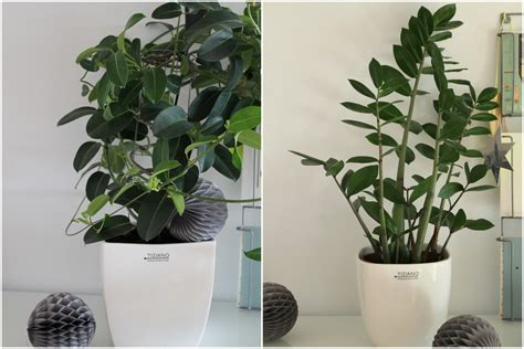 Als Zimmerpflanze by Deko Und Pflegetipps Zum Quot Tag Der Zimmerpflanze