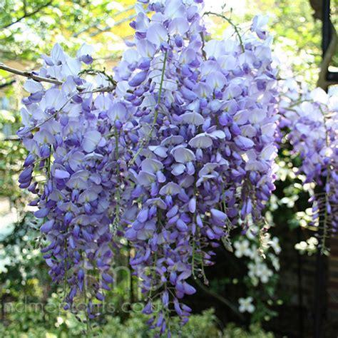plant pictures wisteria sinensis wisteria