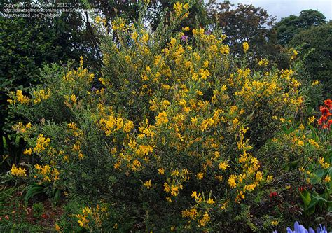plant identification closed big bush with yellow flowers