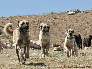 kangal puppies for sale in california kangal puppies for sale kangal breeders