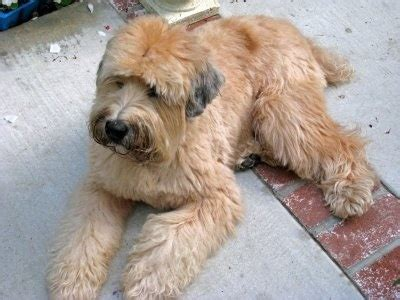 short haired wheaten terrier how to cut their hair wheaten terrier haircut styles search results