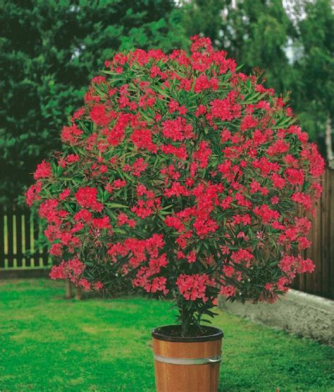 Arbustes Fleurs Rouges by Les 78 Meilleures Images Du Tableau Fleurs Et Arbustes Sur