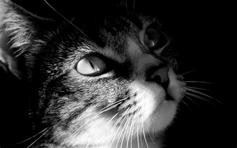 wallpaper cat black and white black and white cat photography wallpaper