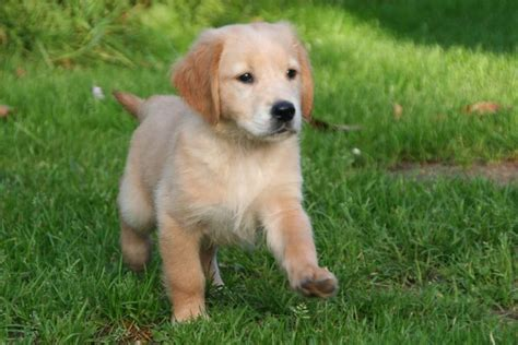 golden retriever puppies calgary classifieds for sale animals calgary