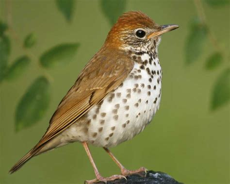 wood thrush bird pictures