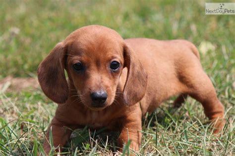 dachshund puppies michigan dachshund puppy for sale near grand rapids michigan a94bf604 5f01
