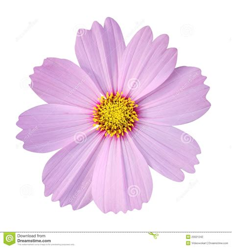 Cosmos Flower Isolated On White Background Stock Photography   Image: 23021242