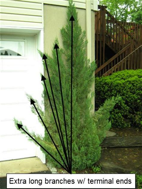 gardening on the porch pruning how to prune upright junipers landscaping ideas for