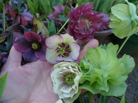 winter flowers for garden six fabulous winter flowering plants portland monthly