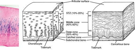 cartilage diagram cartilage layers related keywords cartilage layers
