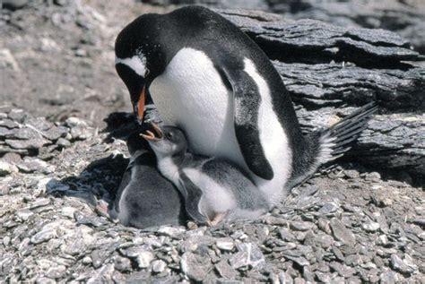 gentoo penguin wildlife  wildlife
