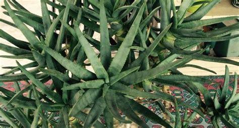 aloe arborescens coltivazione in vaso la coltivazione dell aloe arborescens piante da interno