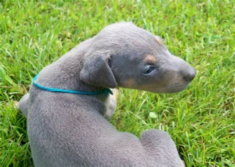 doberman puppies for sale in ky the 25 best blue doberman puppy ideas on doberman puppies blue doberman