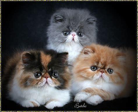 wallpaper persian cat wallpaper gallery cat kittens wallpaper 4