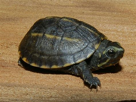 three striped mud turtle for sale from the turtle source