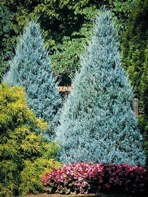 buy juniper trees   tree center