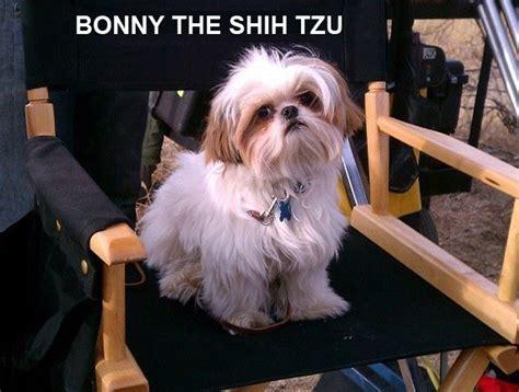 amazing shih tzu 15 reasons bonny the shih tzu is amazing