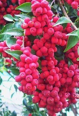Bibit Cherry Suriname bibit buah langka jambu phily