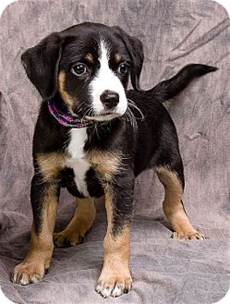 bernese mountain puppies illinois homer adopted puppy il bernese mountain mix
