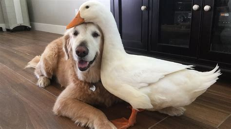 puppies and friends and duck are inseparable best friends 1funny