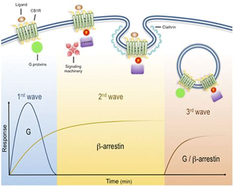 The Multiple Waves of Cannabinoid 1 Receptor Signaling ... G Protein Coupled Receptors Diagram