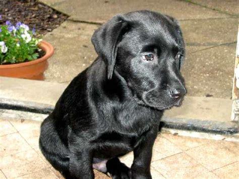 labrador puppies wi file black labrador puppy jpg