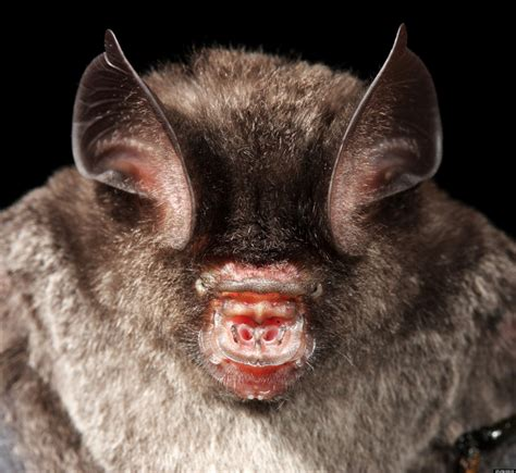 interesting facts bumblebee bat